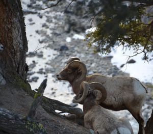 Long-horn sheep in the afternoon sun