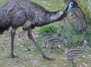 Male Emu with his Chicks