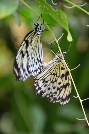 French Butterflies Mating