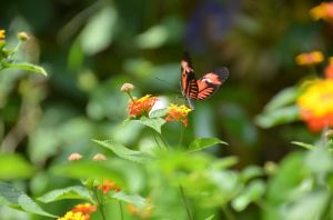 French Butterfly 6