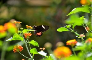 French Butterfly 4