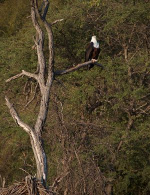 African Fish Eagle, Mozambique
