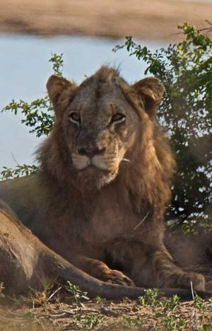 African Lion 2, South Africa
