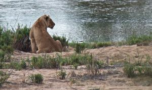African Lioness on the river, Kruger National Park, South Africa