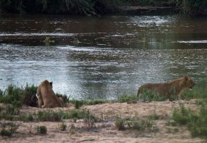 African Lionesses on the river, Kruger National Park, South Africa