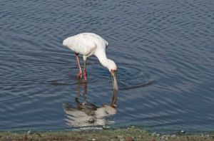 African Spoonbill, Kruger National Park, South Africa