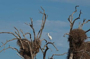 African Spoonbill among Stork and Sociable Weaver nests, Kruger National Park, South Africa