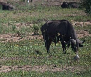 Cape Buffalo with Egyptian Goose, Kruger National Park, South Africa