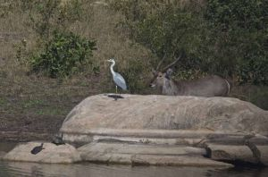 Gray Heron and Waterbuck, Kruger National Park, South Africa
