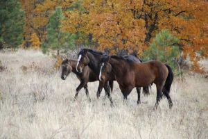 Wild Horses in the fall, Toppenish WA