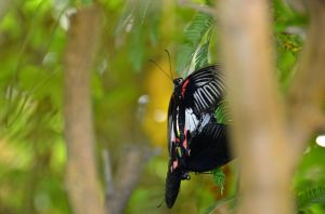 French Butterfly 2