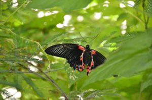 French Butterfly 3
