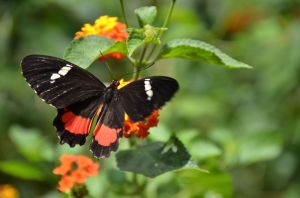 French Butterfly 5