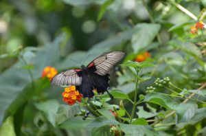 French Butterfly 7