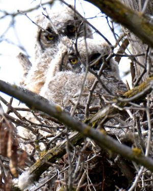 Great Horned Owlets,Toppenish WA