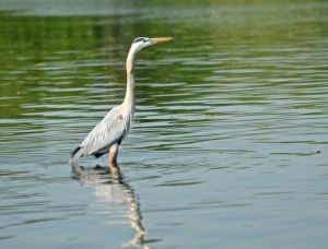 Geat Blue Heron reflected