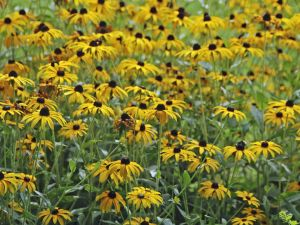 Black-Eyed Susans, Dundee, Oregon