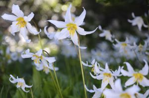 Avalanche Lilies, Paradise Lodge, Mt. Rainier