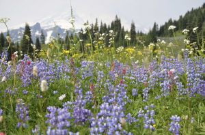 Wildflower meadow, Mt. Rainier